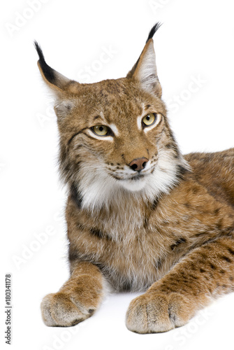 Poster Lynx Eurasian Lynx, lynx lynx, 5 years old, sitting, studio shot