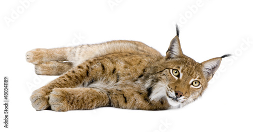 Poster Lynx Eurasian Lynx, Lynx lynx, 5 years old, lying in front of white background, studio shot