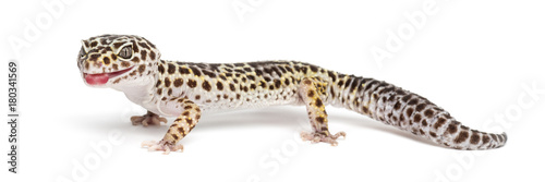 Leopard gecko, Eublepharis macularius, against white background