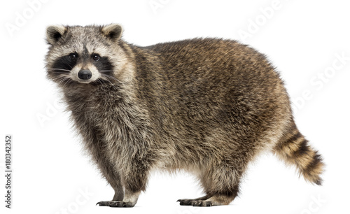 Valokuva  Side view of a Racoon, Procyon Iotor, standing, isolated on white