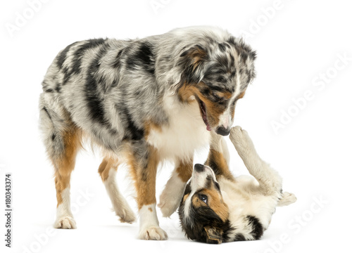 Border collie and Australian Shepherd playing together, isolated on white Tablou Canvas