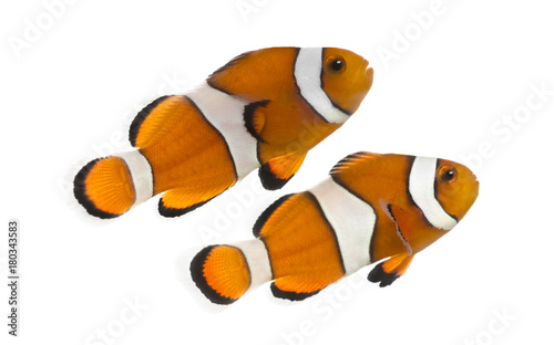 Fotografia, Obraz Two Ocellaris clownfish, Amphiprion ocellaris, isolated on white