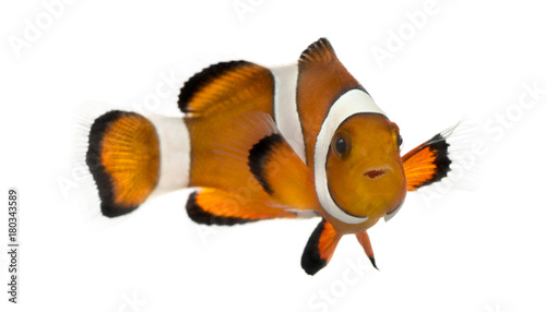 Photo Ocellaris clownfish, Amphiprion ocellaris, isolated on white