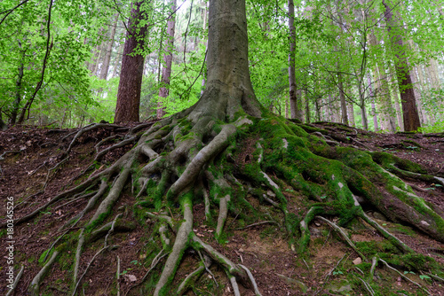 Obraz na plátne Outdoor nature image of gigantic roots of an old tree, covered with moss and und