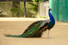 Peacock With Tail Lowered. Sid...