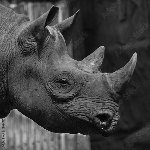 Fotografie, Obraz  close up of Rhino in black and white featuring horn head and face