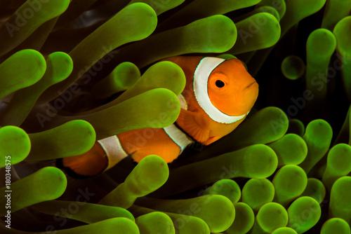 false clown anemonefish, clownfish Tablou Canvas