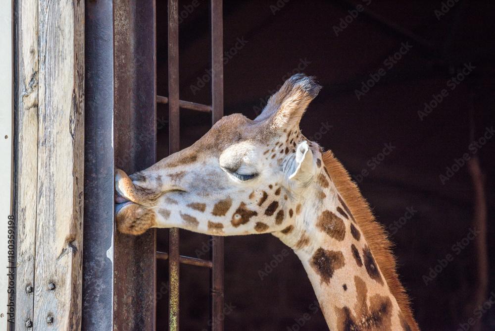 Beautiful giraffes portraits - giraffe kissing a metal frame