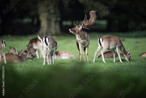 Poster Cerf Bellowing fallow deer buck in meadow between females.