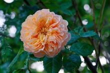 The Rose 'Grace' Has Apricot O...