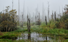 Dead And Dying Cypress Trees I...