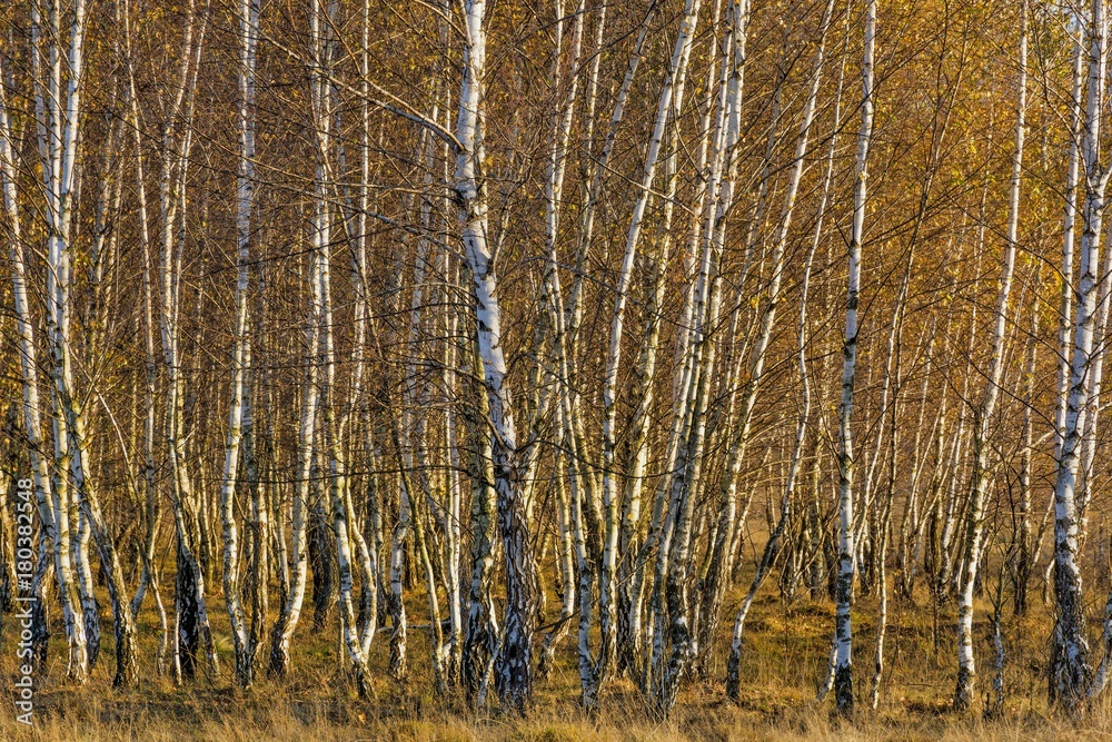 Forest of birch trees with golden autumn leaves.White birch trees in autumn seson. Trees with yellow leaves in autumn. Autumn aspen tree forest in the Romanian Carpathian Mountains.