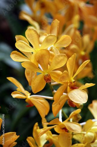 Foto  Orchideen-Hybride Aranda Jitti Gold