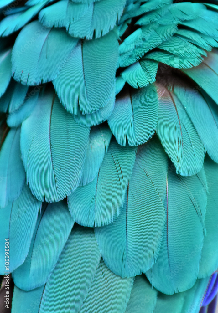 The teal blue colored feathers of a macaw