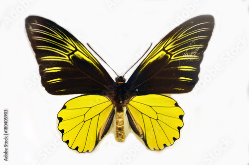 Golden Birdwing (Troides amphrysus) isolated Canvas Print