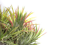 Isolated Picture Of Tillandsia...