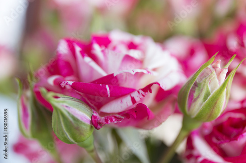 Staande foto Roze Pink and white wild roses in the garden with blur background.