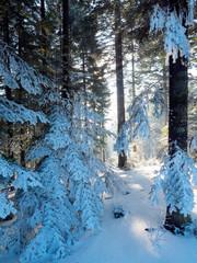 FototapetaŚwiatło słoneczne wśród drzew w zimowym górskim lesie