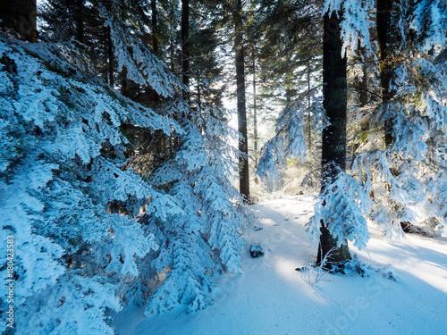 Obraz Światło słoneczne wśród drzew w zimowym górskim lesie - fototapety do salonu