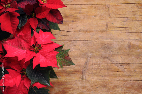 Photo  Euphorbia pulcherrima Noche Buena Mexican flame leaf Lalupatae Christmas star St