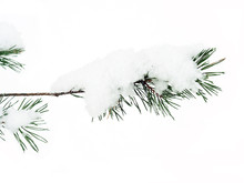 Pine Branch Under Snow On A White Background, Isolate