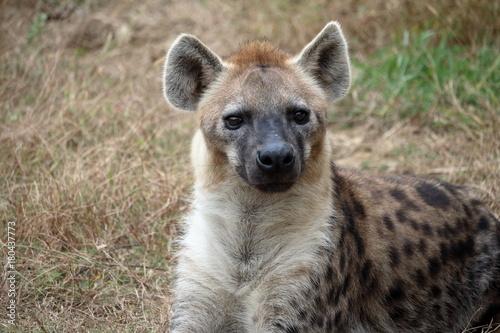 Foto op Canvas Hyena ブチハイエナ