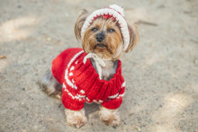 Yorkshire Terrier In Red Sweater