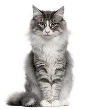 Norwegian Forest Cat (5 Months Old)