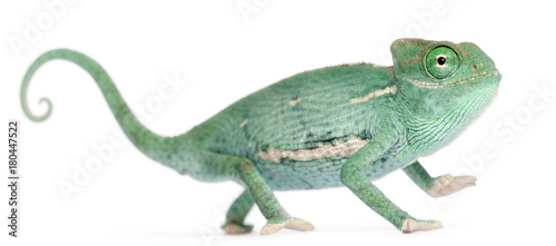 Fototapeta premium Uśmiechnięty młody ukryty kameleon, Chamaeleo calyptratus, przed białym tle