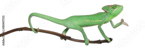 Poster de jardin Cameleon Young veiled chameleon, Chamaeleo calyptratus, in front of white background