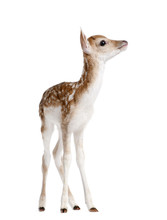 Side View Of Fallow Deer Fawn,...