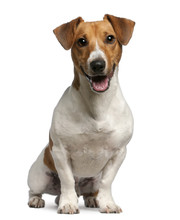 Jack Russell Terrier (12 Month...