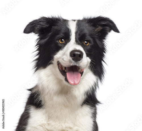 Poster Chien Close-up of Border Collie, 1.5 years old, looking at camera against white background
