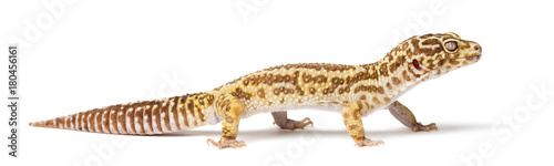 Leopard gecko, Eublepharis macularius, close up against white background