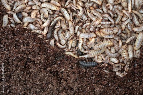 Larvae Hermetia illucens, the black soldier fly