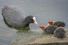 Blässhuhn Füttert Jungtiere