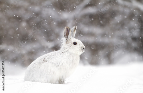 Snowshoe hare or Varying hare (Lepus americanus) in the falling snow in Canada