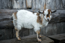 A Small  Kid Goat On The Swiss Alps