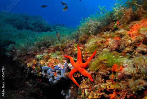 Hacelina attenuata 787_057, estrella de mar junto a pradera Canvas Print