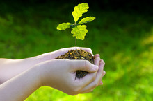 Small Oak Tree Plant In Hands. Seedlings Illuminated By Side Light. Green Background