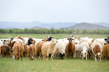 Grazing Flock Of Goats And Sheep