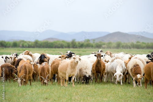 Papiers peints Sheep grazing flock of goats and sheep