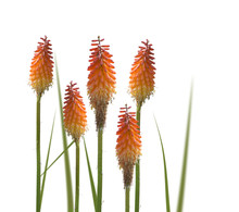 Kniphofia Or Red Hot Poker Flo...