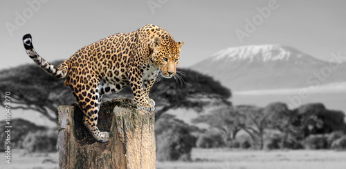 Photo Stands Leopard Black and white photography with color leopard