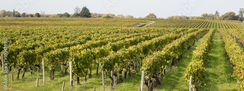 Wall Murals Vineyard rows Of Vineyard Grape Vines.Autumn Landscape With Colorful Vineyards