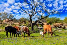 Texas Cattle Grazing