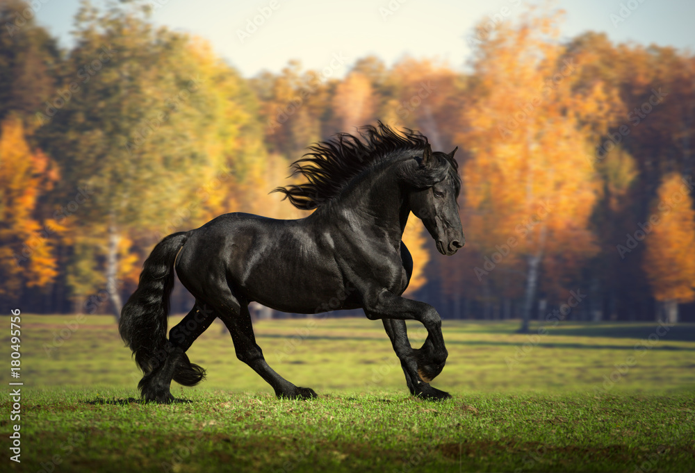 Fototapety, obrazy: Big black horse runs in the forest background