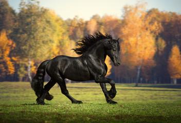 Duży czarny koń biegnie w tle lasu