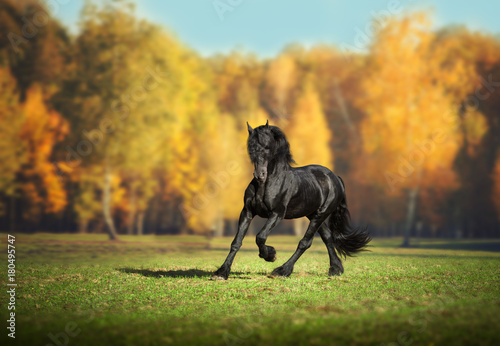 Poster Miel Big black Frisian horse runs in the forest background
