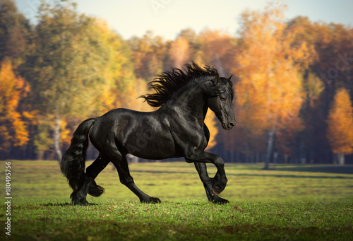Fototapeta Big black horse runs in the forest background obraz